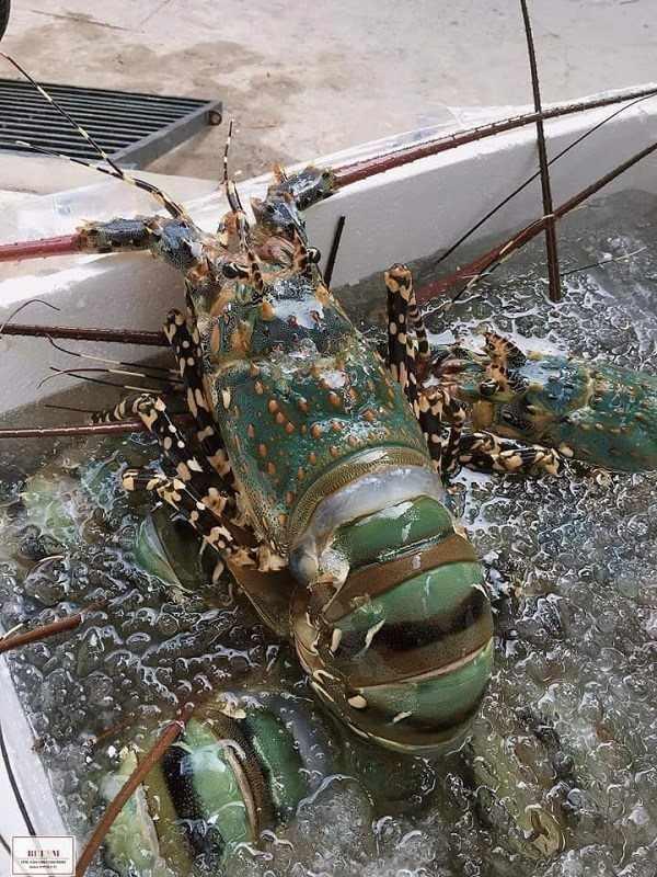 #1 Thủ tục hải quan xuất nhập khẩu tôm hùm sống mới nhất